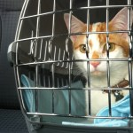 Secrets to Successful Car Travel With Cats