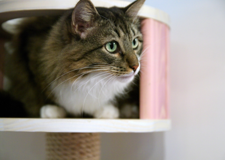 Feline asthma is very similar to asthma in humans. We discuss the signs, how it's diagnosed and treatment for cats | Feline Asthma and Bronchitis: Triggers and Treatment