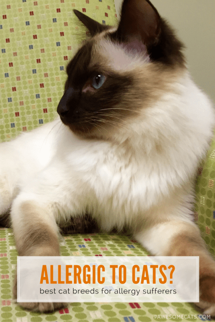 No cat is 100% hypoallergenic - but there are suitable cat breeds for people with allergies | Best Cat Breeds for People with Allergies
