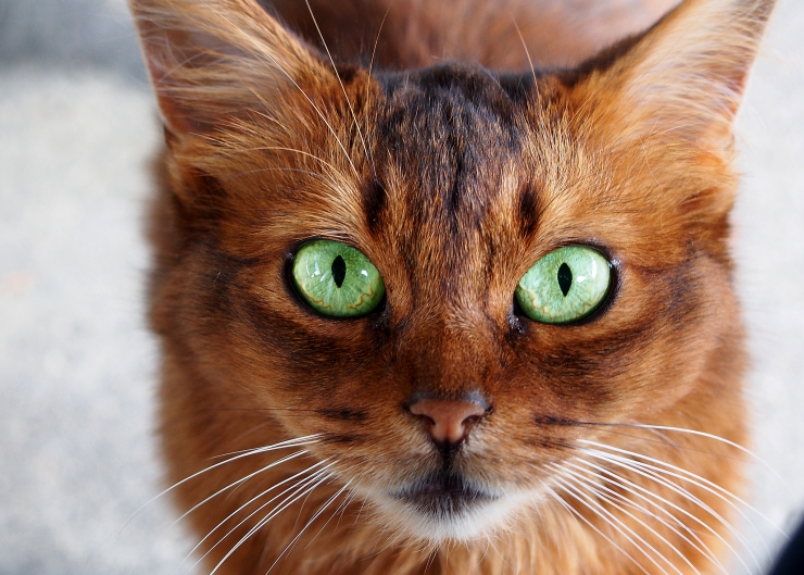 Somali Cat Breed Information And Personality Pawesome Cats