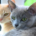 Signs and Symptoms of Feline Infectious Peritonitis (FIP)
