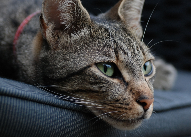 One of the most popular and oldest breeds of cat found in Europe, the European Shorthair is a great low-maintenance family pet, although they can be territorial around other cats | European Shorthair Cat Breed Profile