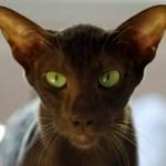 Havana Brown Cat Breed Profile