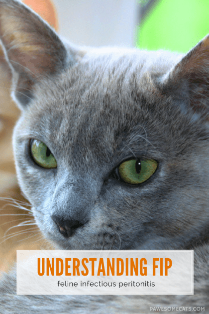 Understanding FIP -- the clinical signs, how it is transmitted between cats and how vets diagnose this condition | Signs and Symptoms of Feline Infectious Peritonitis (FIP)