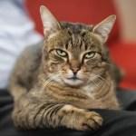 tabby cat sitting on lap