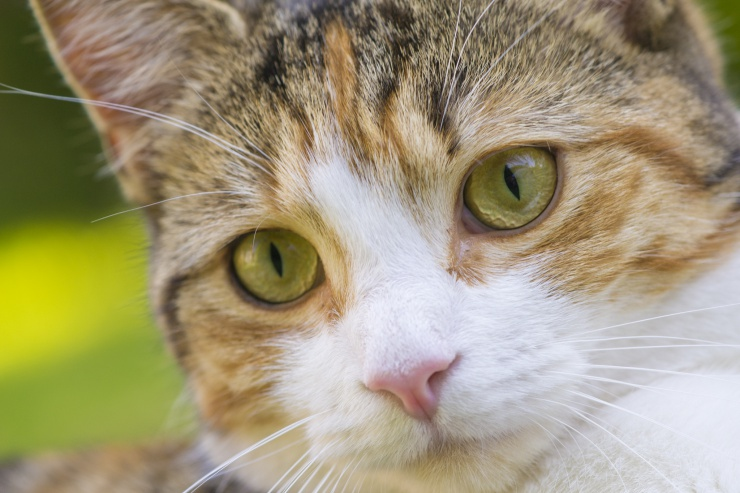 close up of ginger, brown and white tabby cat with pale green eyes and pink nose