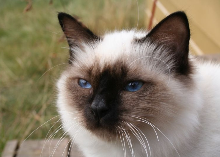 Ideal cat breeds for families with kids are those that are placid and tolerant, rather than highly strung spitfires | Best Cat Breeds for Families with Kids