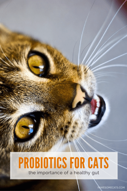 How healthy is your cat's gut? We talk about the role of bacteria in digestion and how to use probiotics for your cat to promote gastro-intestinal health | Role of Probiotics in Your Cat's Diet