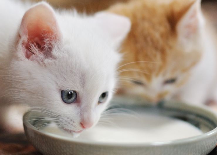 Milk is a food for young animals before they are weaned, but did you know most adult cats are milk-intolerant, due to the milk sugar, lactose. | Is it Ok for Cats to Drink Milk?