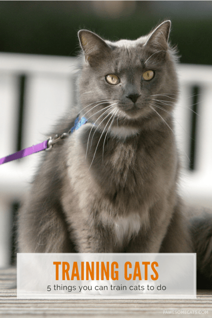 If you thought training was only for dogs, then think again, because you can train your cat too! We share our secrets to successfully training cats. | 5 Things You Can Train Your Cat to Do