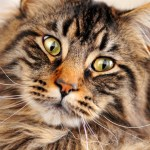Diabetes in Cats – What are the Risk Factors?