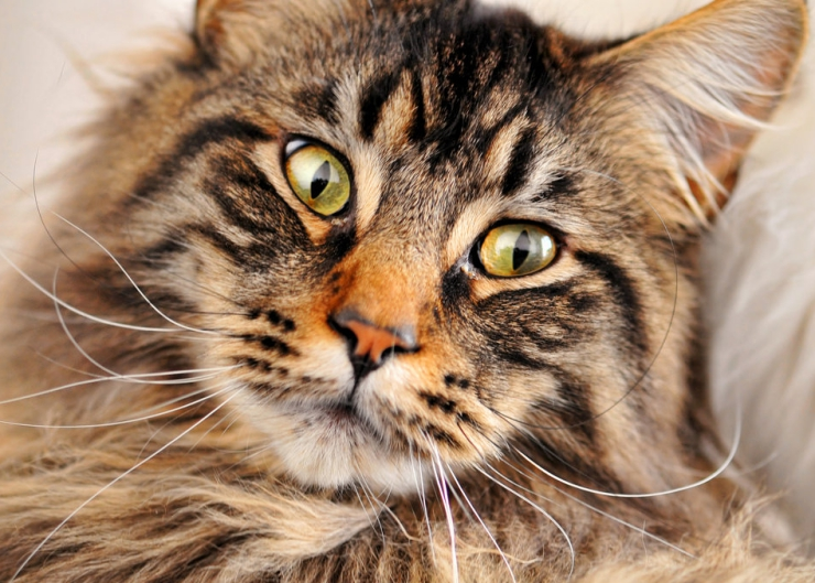 We discuss the signs of feline diabetes and what you can do to prevent and treat this disease. | Diabetes in Cats - What are the Risk Factors?