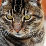 California Spangled Cat Breed Profile