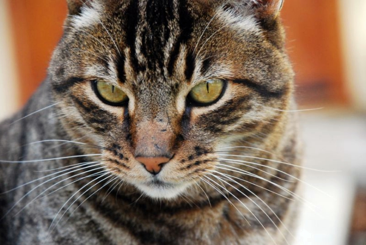 The California Spangled cat is known for its high energy levels and athleticism - they love to pounce and demonstrate their superb hunting skills | California Spangled Cat Breed Profile