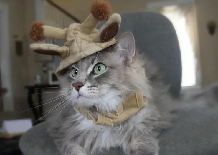 fluffy grey tabby cay wearing a giraffe hat costume