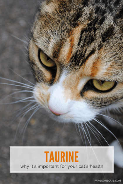 Taurine is one of the building blocks of protein, and an essential amino acid for cats which protects their eyes, heart and overall health | The Importance of Taurine in Your Cat's Diet