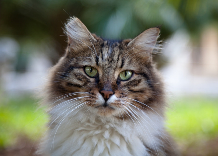 Does your cat shake its head or scratch its ear? These are two signs of a chronic ear infection in cats. We discuss underlying causes and treatment options   Chronic Ear Infections in Cats