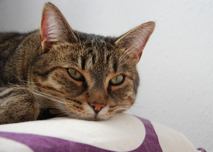 Due to their naturally laid back attitude it can be difficult to spot the classic signs of heart disease in cats which means it often goes unnoticed | Signs of Heart Disease and Heart Failure in Cats