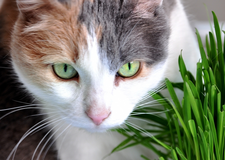 Cats are carnivores, so why do they eat grass? We discuss six possible reasons that explain cats' grass grazing behaviour - you may be surprised. | Why do Cats Eat Grass?