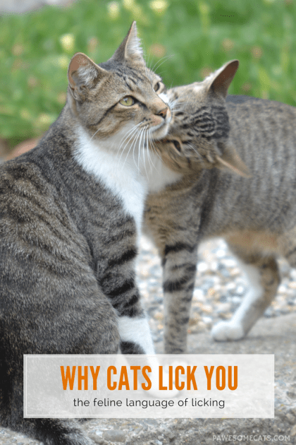 Reasons Why Cats Lick You
