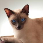 Understanding Hyperesthesia in Cats