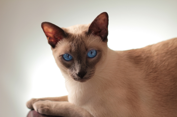 Hyperesthesia in Cats - Does your cat have twitching or rippling skin? If you've ruled out allergies, parasites, arthritis and other medical conditions, it could be feline hyperesthesia, an exaggerated response to stimulation.  Understanding Hyperesthesia in Cats siamese cat 4