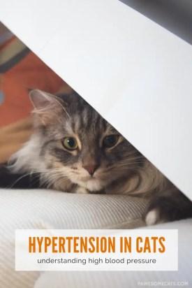 hypertension in cats - understanding high blood pressure