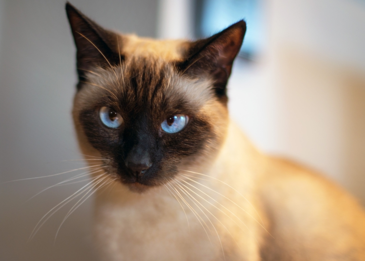 Siamese cat with bright blue eyes