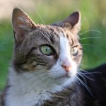 white tabby cat with green eyes