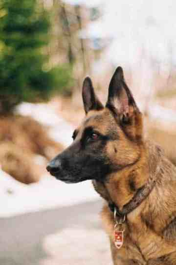 german shepherd guard dog