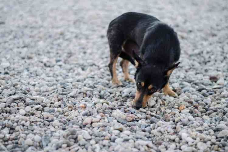 How to Stop Your Puppy from Eating Stones