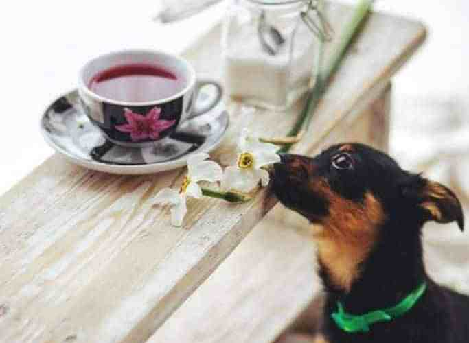 can dogs drink tea