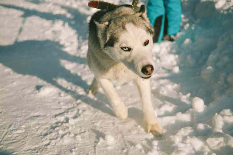 Husky with a snow nose pulling on the leash.