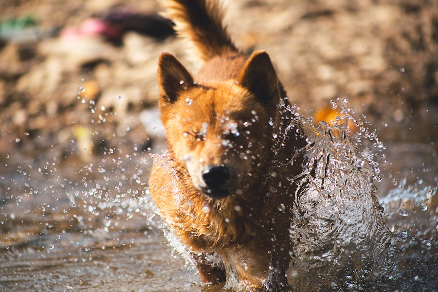 A dog is seen running through water with it splashing all around their face one of the ways of keeping cool this Bangalore summer, the first of our dog care tips