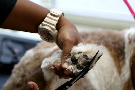 Leena trims the hair around a Shih Tzu's paws