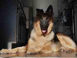 perro enfermo de coronavirus