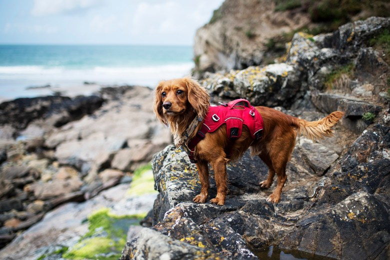 Hen the Working Cocker Spaniel | Paws & Tors