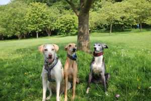 Three dogs posing for the camera on our group dog walk.