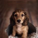 Toronto Dog Photographer Adorable Dachshund Puppy Photoshoot Idea Pawsh Magazine A New Breed Of Dog Magazine