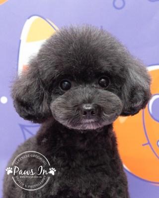 poodle,poodle grooming, poodle hair cut, yuen long poodle, yuen long poodle hair cut, 元朗剪毛, 元朗沖涼, 元朗poodle剪毛,貴婦犬,貴婦犬剪毛