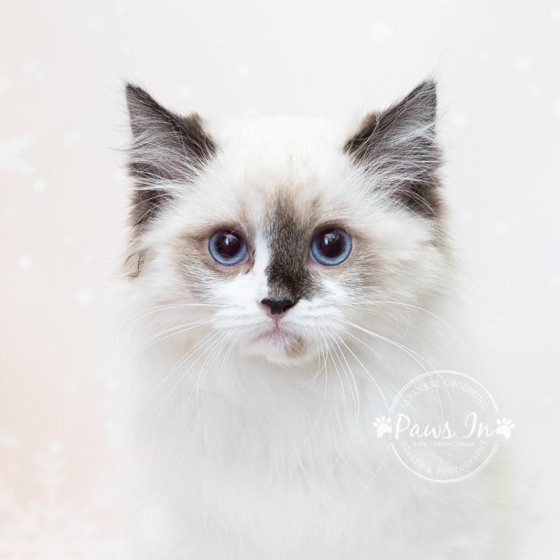 布偶貓, 貓沖涼, 貓美容, 元朗貓美容, 布偶貓沖涼, cat grooming, cat shampoo