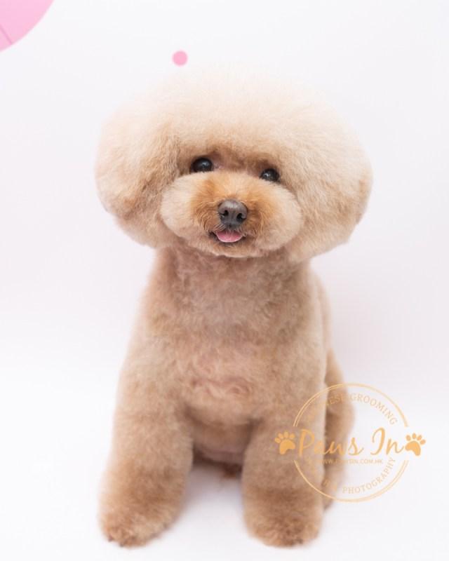 Poodle 日式貴婦造型, 日式寵物美容, 寵物美容, poodle grooming, poodle hair cut, poodle 剪毛, poodle 造型, 貴婦造型, 貴婦剪毛