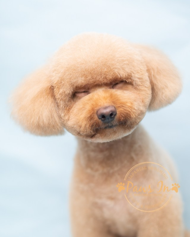 Poodle Mocha - 剪裝造型