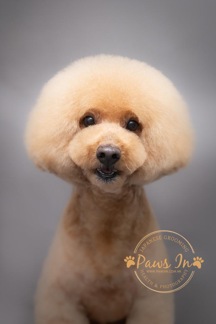 Poodle, 貴婦犬, 貴婦犬剪毛, poodle 造型, 貴婦犬造型, poodle 剪裝, 日式貴婦造型