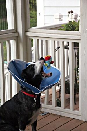 Surgery dog playing