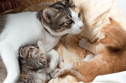 How Long Do Cats Stay Pregnant Pawsome Kitty