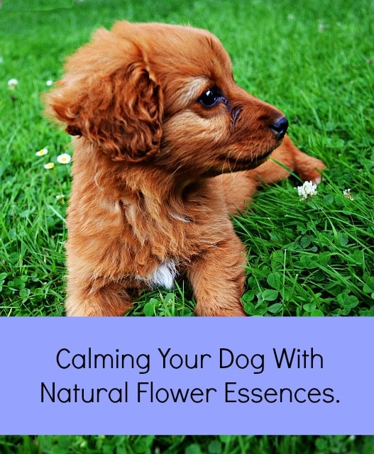 Is Rescue Remedy Safe For Dogs