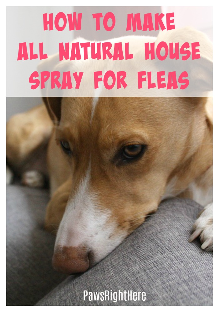 Germ fighting essential oil for fleas