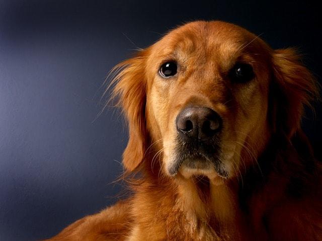 should dogs eat grains