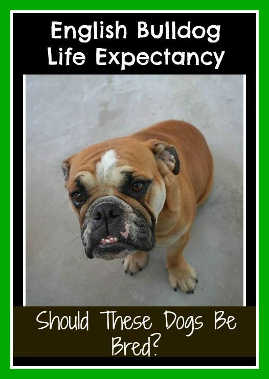 English bulldog life expectancy